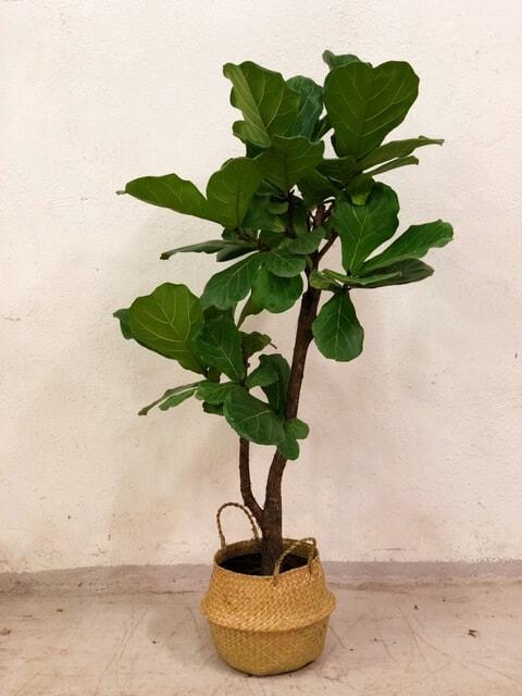 Lüüra-viigipuu