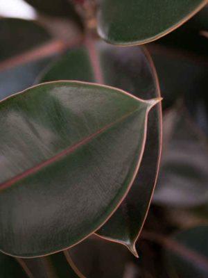 Kummi-viigipuu