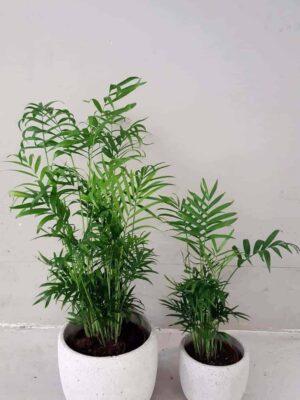 """Paar palmi"" toataimekomplekt"