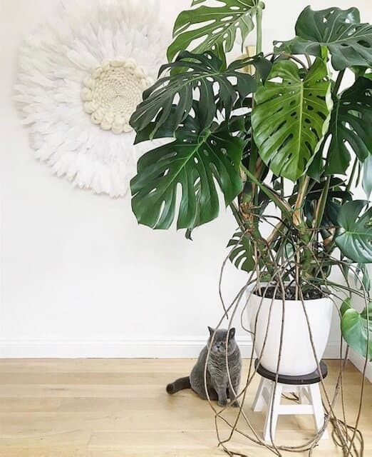 Monstera toataim