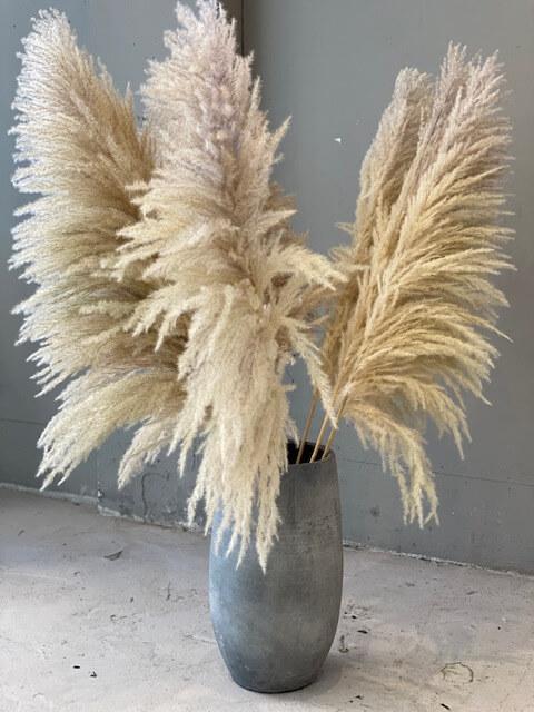 "Pampas Grass ""extra fluffy"""