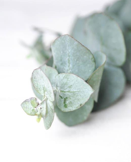 eukalüpt